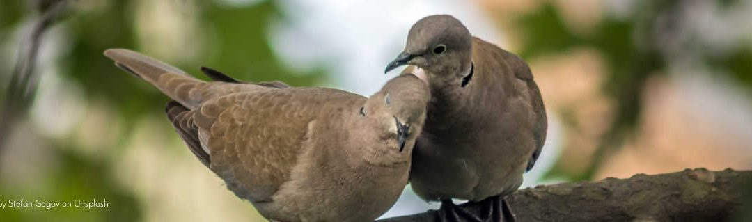 morning song of the mourning dove